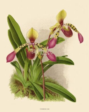 Cypripedium Lowil